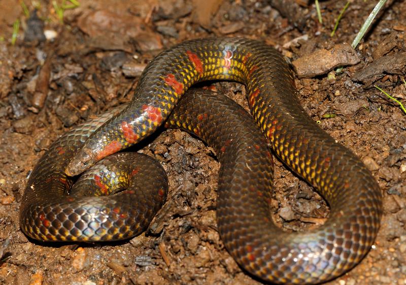 Uropeltis maculata, a member of the fossorial snake family Uropeltidae