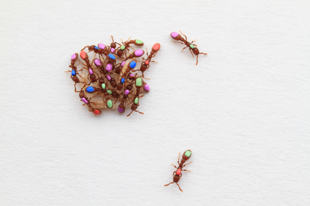 A group of clonal raider ants, hand-painted so as to be individually recognized by our tracking software.