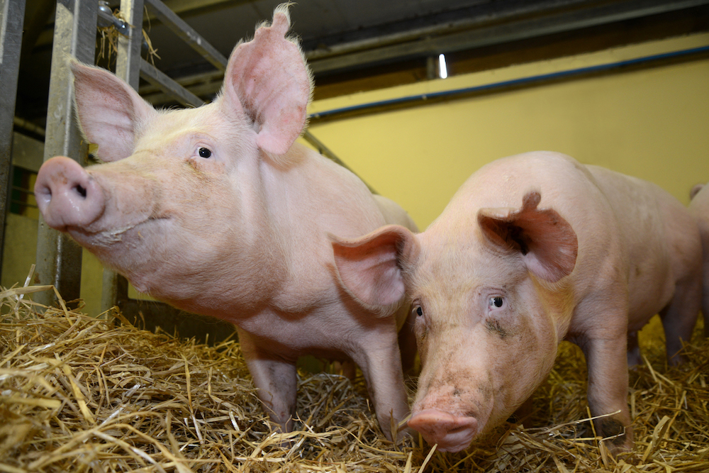 These gene-edited pigs are resistant to one of the world's most costly animal diseases, PRRS virus.