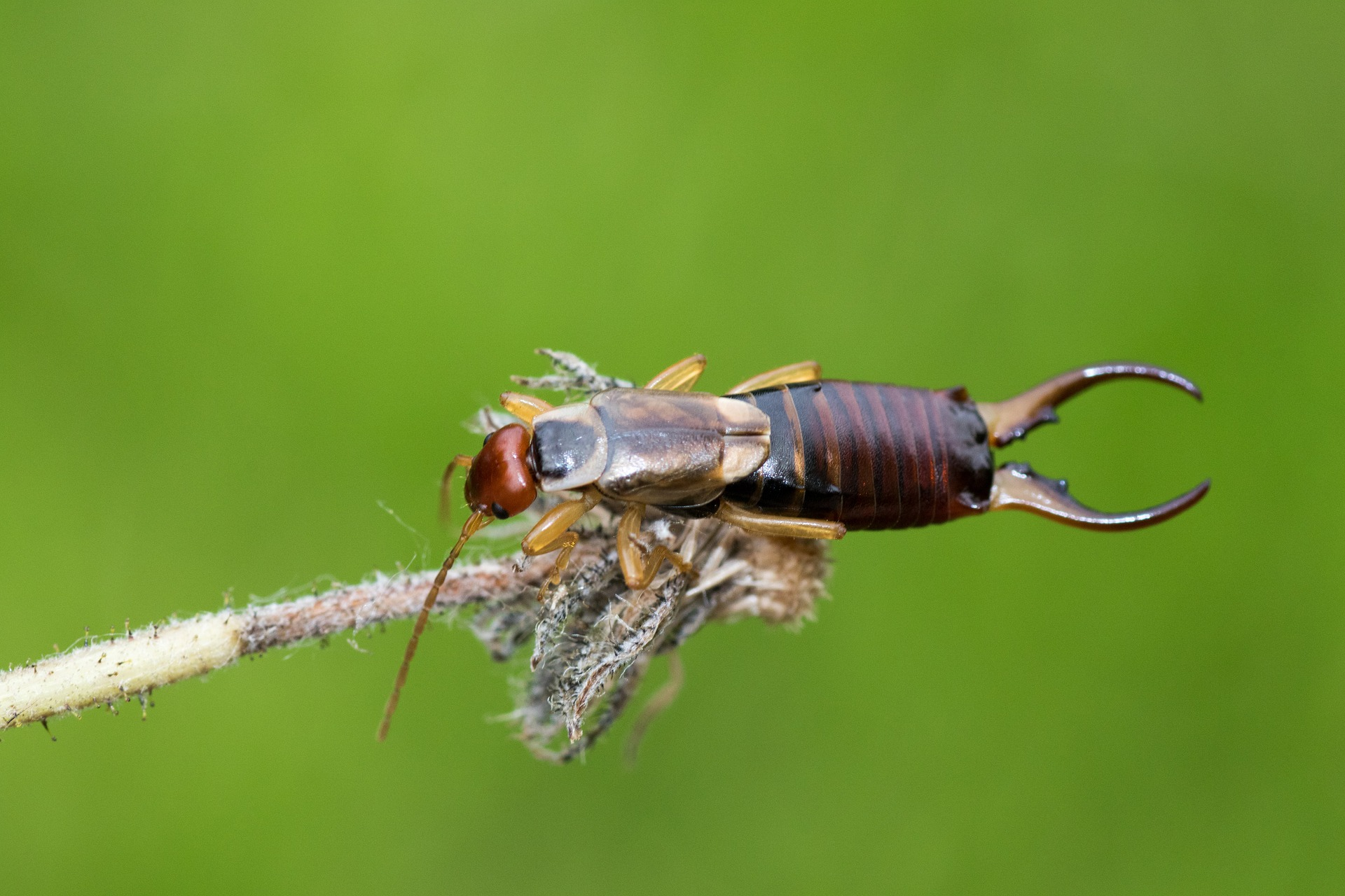 Forficula auricularia adult male