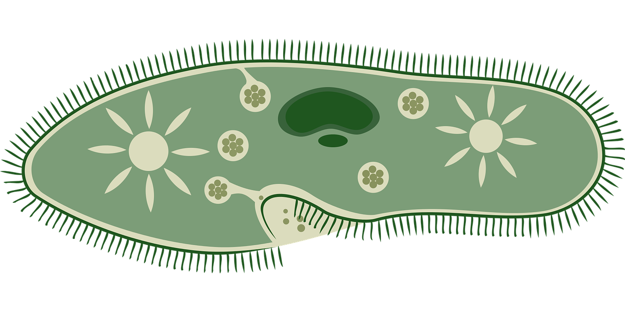 Artist impression of a Paramecium