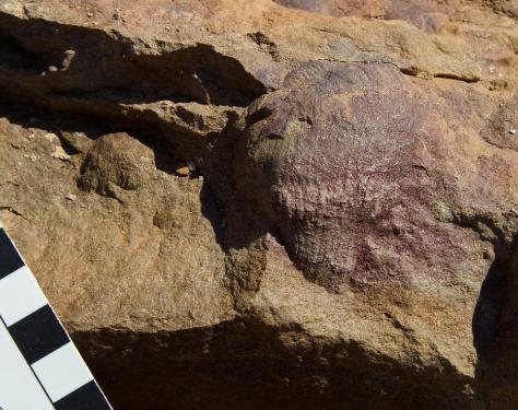 An Edicarian fossil.