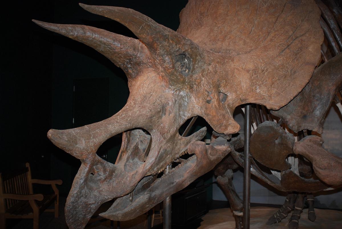 Triceratops, as Centrosaurus, displayed visible external horns.