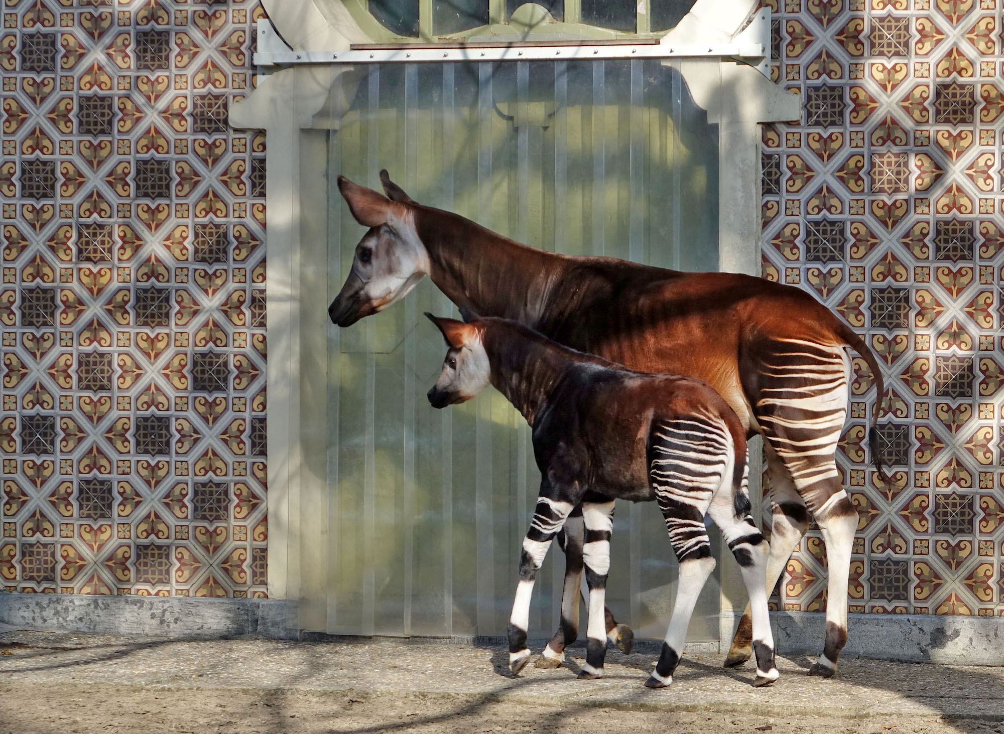 A female okapi stands next to its calf at Antwerp Zoo.