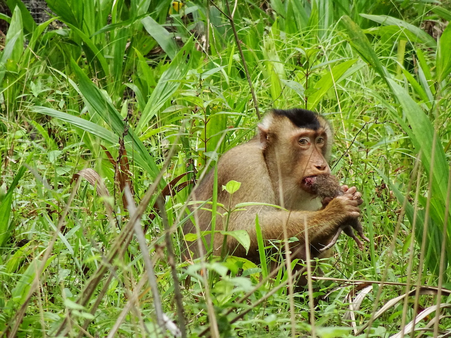 Male pig-tailed macaques munching on a rat.